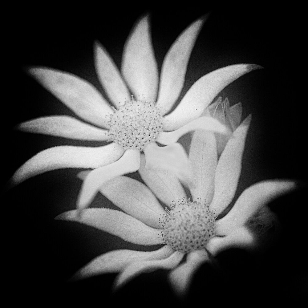 Flannel Flower by Shirley Steel
