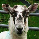 The Prisoner - Cheviot Sheep von BlueMoonRose