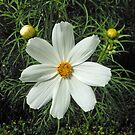 Pretty White Cosmos Flower and Buds by BlueMoonRose