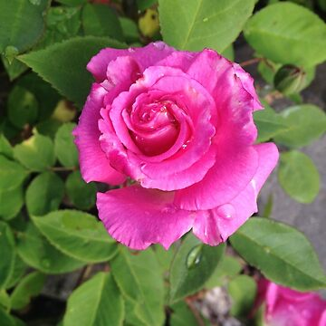 Rose After Rain by clairesalcedo