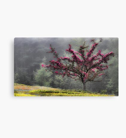 Apple Blossoms - Looking Back at the Beauty of Spring Canvas Print