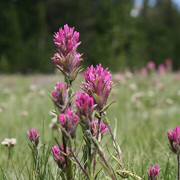Indian Paintbrush Flower by StormCrow42
