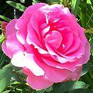 Blush Pink Rose by MizMeliz