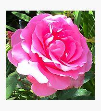 Blush Pink Rose Photographic Print