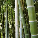 Bamboo grove, bamboo forest natural green background, Georgia, Batumi Botanical Garden by OlgaBerlet