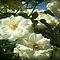 *AVATAR/ALL WHITE ROSES