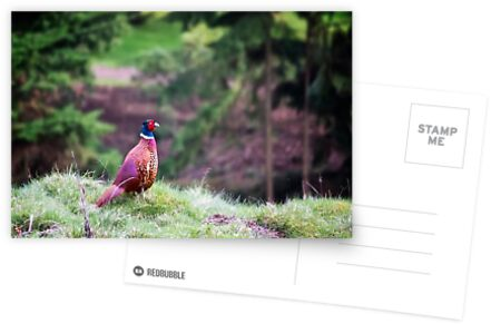 Ring-necked Pheasant by Vicki Field