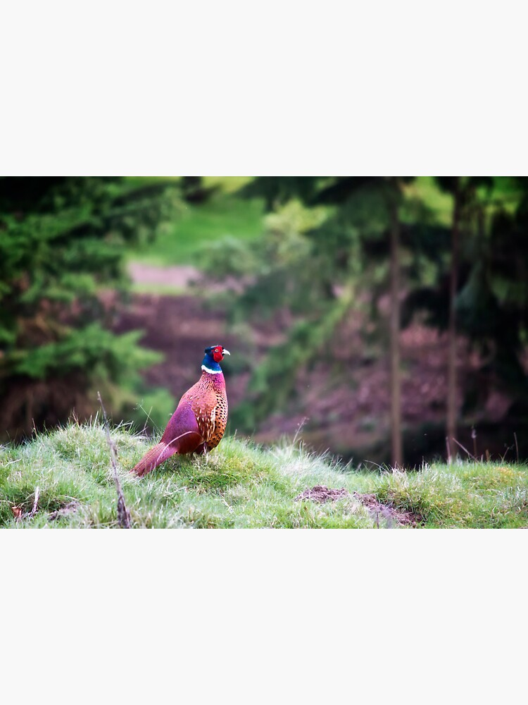 Ring-necked Pheasant by InspiraImage