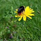 Bee on yellow flower by Jax Blunt