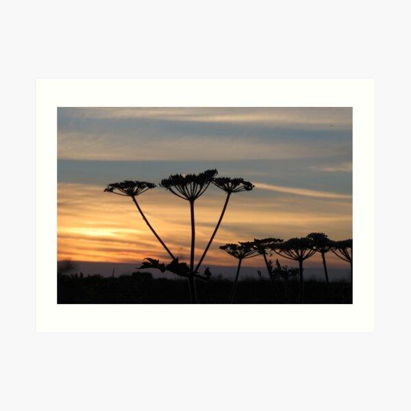 Umbellifers at sunset Art Print