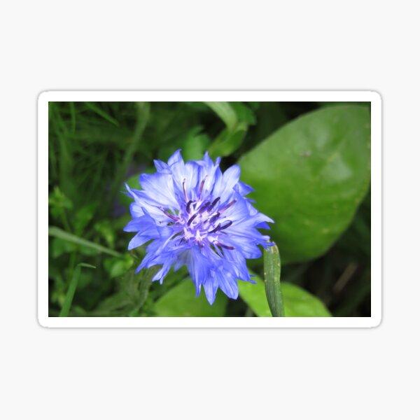 Blue cornflower close up Sticker