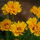 Yellow Daisies by kkphoto1