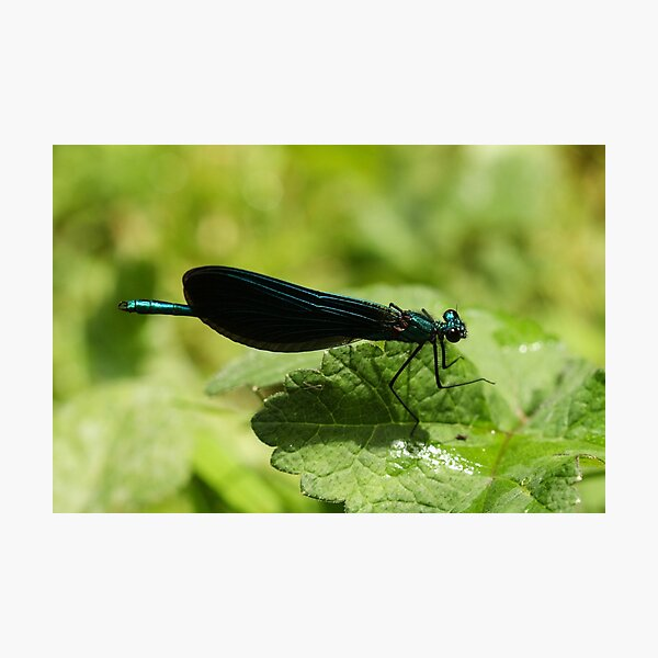 Beautiful Demoiselle Photographic Print
