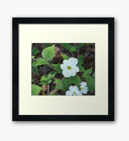 Welcoming Spring - Dogwood 2 Framed Print