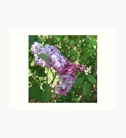 Lovely Lilac 6 Art Print