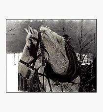 The Draft Horse Photographic Print