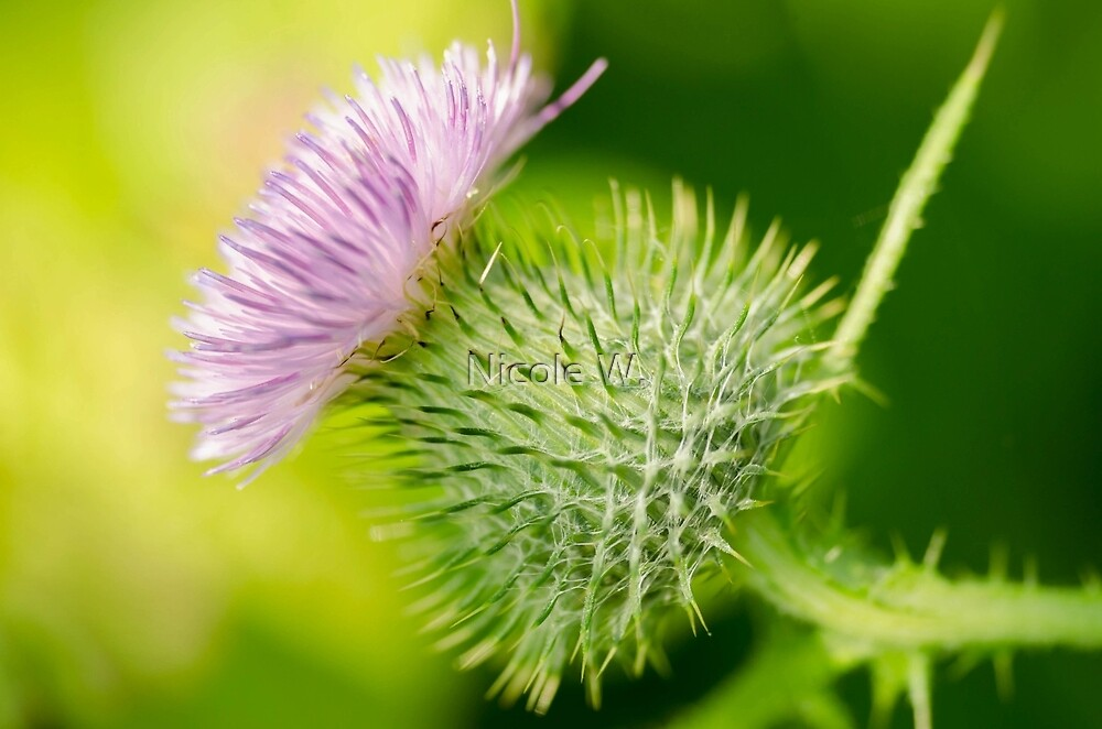 thistle by Nicole W.