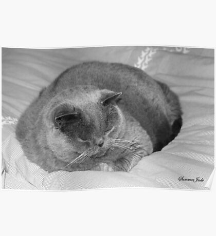 British Shorthair Cat ~ Snoozing Poster
