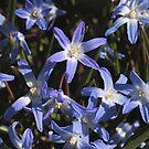 Chionodoxa luciliae blue by Maryna Gumenyuk