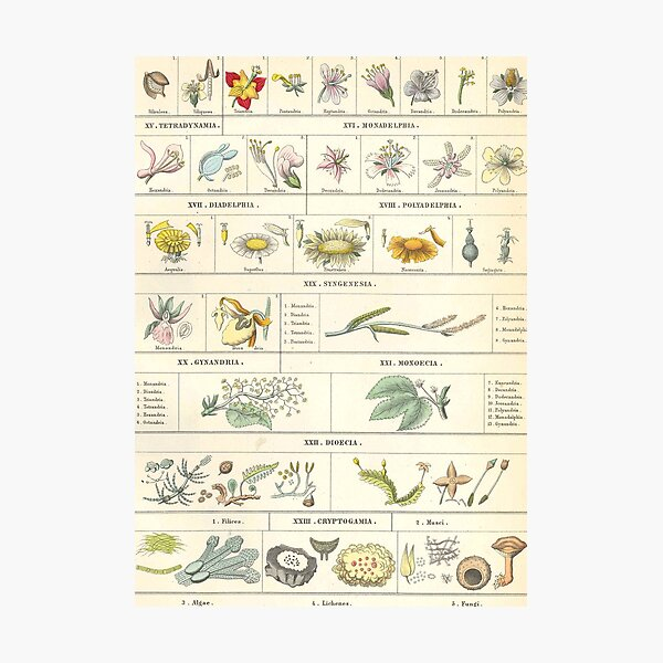 Botanical Chart by Bromme Photographic Print