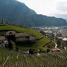 Hillside Vineyard, Bolzano/Bozen, Italy by L Lee McIntyre