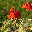 Hummingbird Hawk Moth, Piazza Walther Garden, Bolzano/Bozen, Italy by L Lee McIntyre
