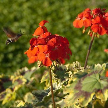 Hummingbird Hawk Moth, Piazza Walther Garden, Bolzano/Bozen, Italy by leemcintyre