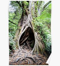 Myrtle Beech, Maits Rest, Great Otway National Park, Victoria Poster