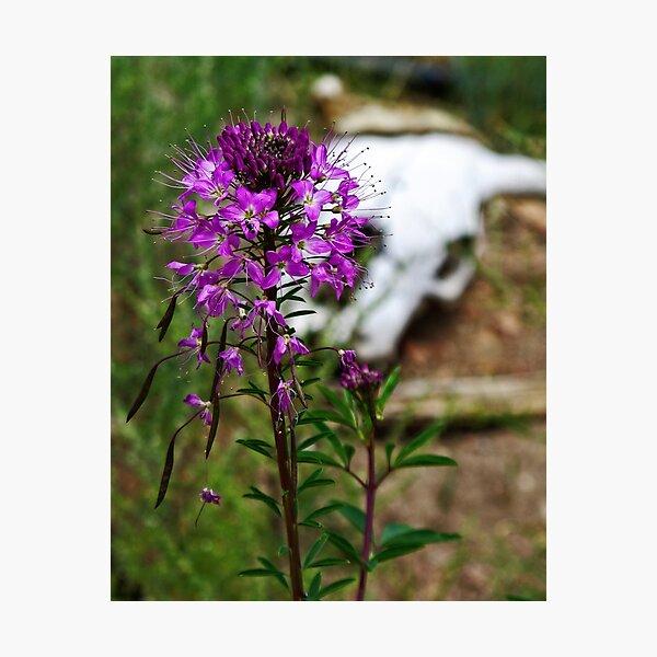 Purple Fringe, Life After Death Photographic Print