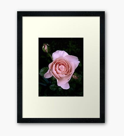 Ambridge Rose Framed Print