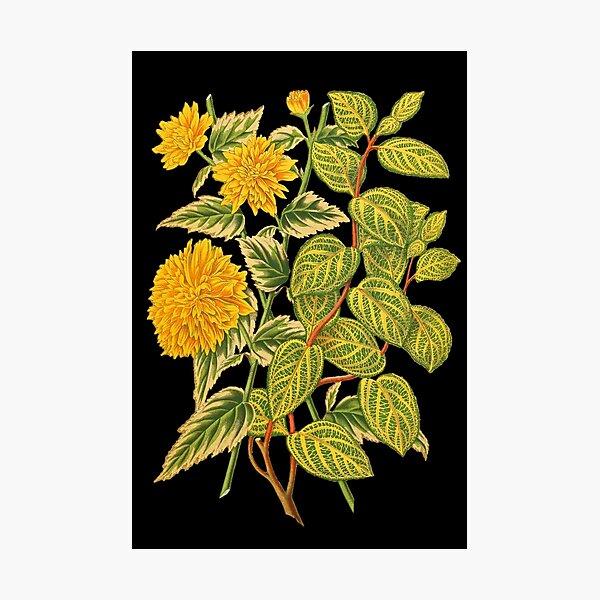 Honeysuckle Botanical Print Photographic Print