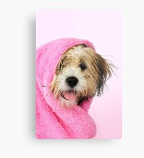 Cute Teddy Bear dog wrapped in a pink towel Metal Print