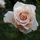 Sicilian Rose from A Gardener's Notebook by Douglas E.  Welch