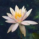 Lily Pond Lily by Monnie Ryan