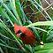 CARDINALS (Red Birds)