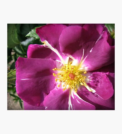 Mysterious Magenta Beauty - Wild Rose Photographic Print