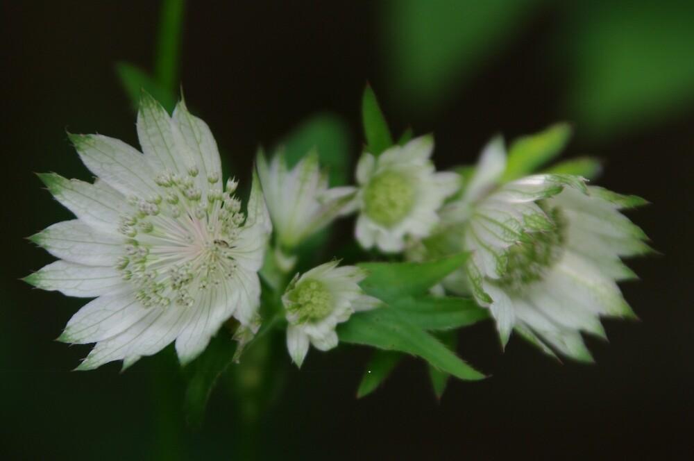 White Astrantia by Marion Throup