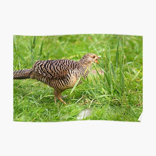 Female Golden Pheasant Poster