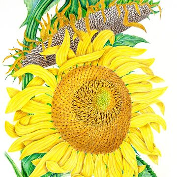 Mammoth Gray Stripe sunflower by tcwagerdesigns