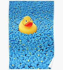 Yellow plastic duck in a pool of blue plastic ducks Poster