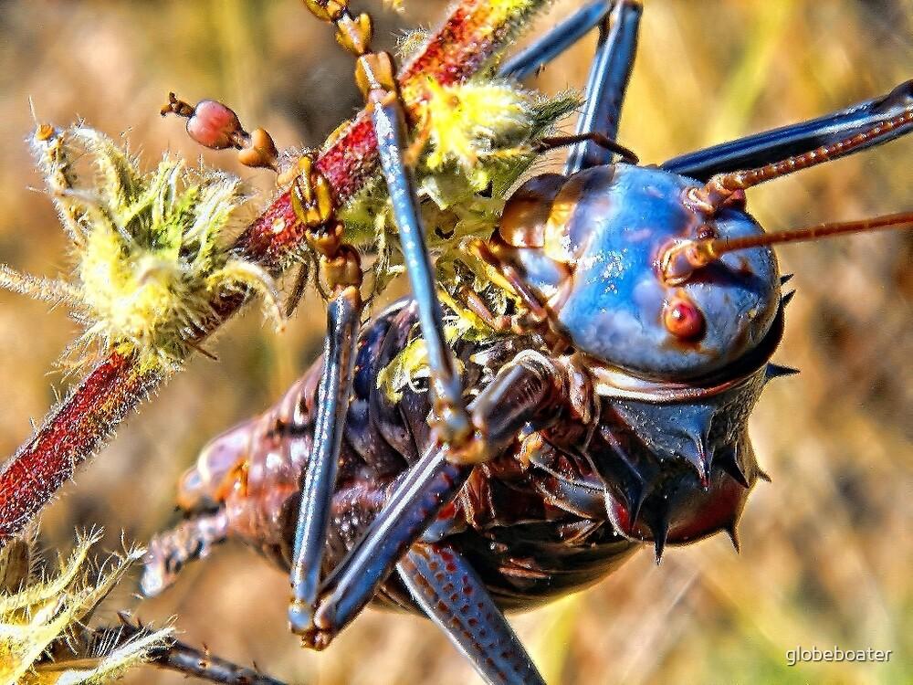 Saddle Grasshopper by globeboater