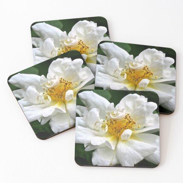 White Camellia.  Coasters (Set of 4)