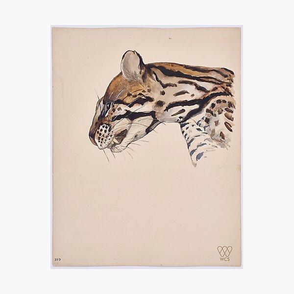 Margay Cat Photographic Print
