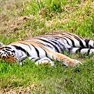 Tiger in the Grass.. by RichImage