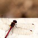 Libelle von Kendra Kantor