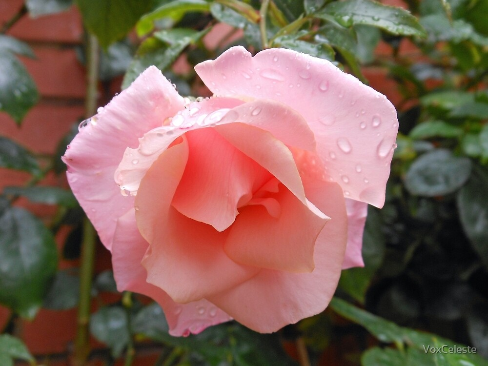 Pink Rose with Raindrops by VoxCeleste