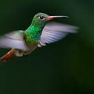 Rufous-Tailed Hummingbird by Steve Bulford