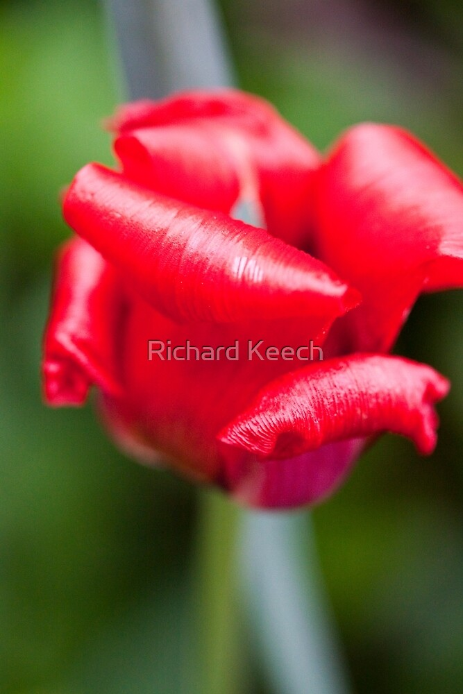 Red and Curly by Richard Keech