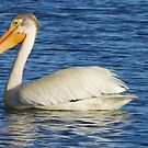 Pelican on the Water by Christian  Bennion