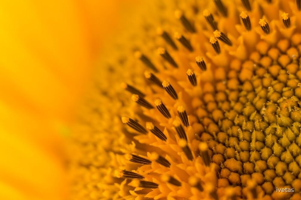 Sunny Sunflower Close Up by ivetas